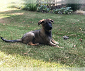 German Shepherd Dog Puppy for Sale in MARIETTA, Georgia USA