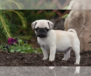 Pug Puppy for sale in HARTLY, DE, USA