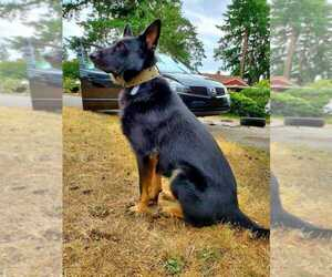 Father of the German Shepherd Dog puppies born on 10/18/2020