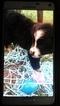 Miniature Australian Shepherd Puppy For Sale in LUTHER, OK