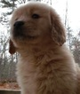 Golden Retriever Puppy For Sale in BLAIRSVILLE, GA