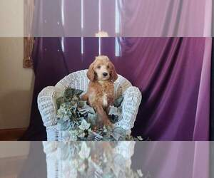 Poodle (Standard) Puppy for Sale in CLARE, Michigan USA