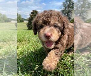 Labradoodle Puppy for Sale in ABINGDON, Virginia USA