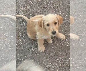 Labradoodle-Poodle (Standard) Mix Puppy for sale in BLACK FOREST, CO, USA