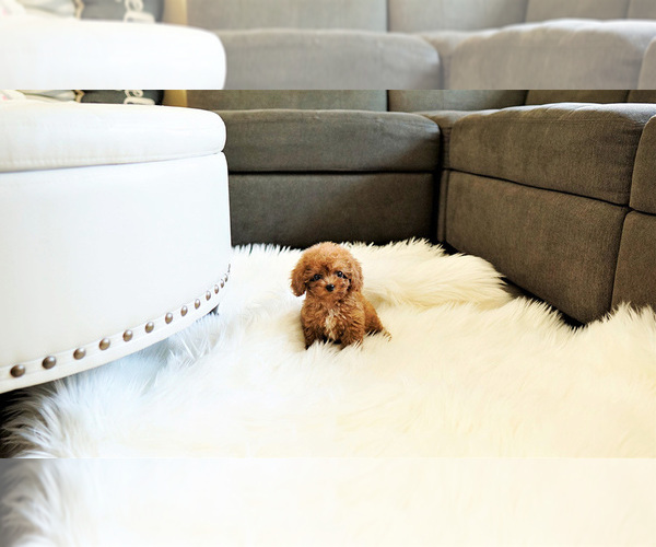 Medium Photo #3 Poodle (Standard) Puppy For Sale in LAS VEGAS, NV, USA