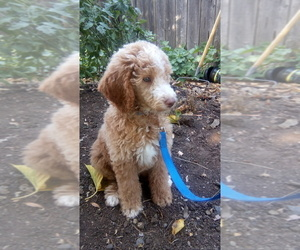 Poodle (Standard) Puppy for Sale in CORNING, California USA