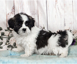 Zuchon Puppy for sale in PENNS CREEK, PA, USA