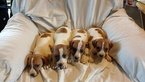 Jack Russell Terrier Puppy For Sale in BOONEVILLE, AR,
