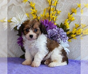 Cavachon Puppy for Sale in GORDONVILLE, Pennsylvania USA