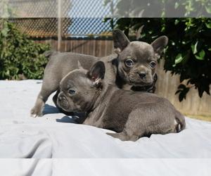 French Bulldog Puppy for sale in VALLEJO, CA, USA