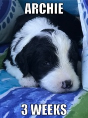 Sheepadoodle Puppy for sale in ADA, OK, USA