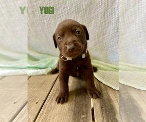 Labrador Retriever Puppy for sale in W DES MOINES, IA, USA