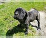 Small #27 Mastiff