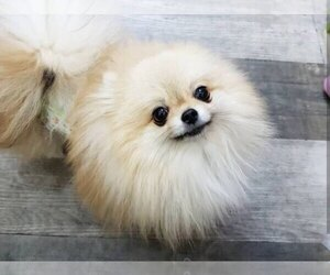 Father of the Pomeranian puppies born on 12/31/1969