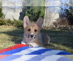 Pembroke Welsh Corgi Puppy for Sale in Kyiv, Kyiv City Ukraine