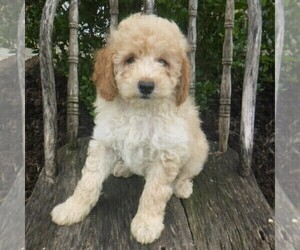 Poodle (Miniature) Puppy for sale in BLAIN, PA, USA