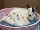 Bull Terrier Puppy For Sale in CALVIN, WV,