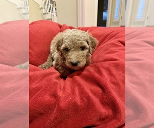 Goldendoodle Dog for Adoption in TULSA, Oklahoma USA