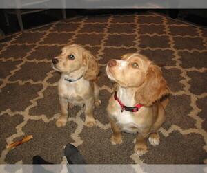 English Cocker Spaniel Puppy for sale in DASSEL, MN, USA