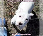Small Photo #158 Dogo Argentino Puppy For Sale in PINEVILLE, MO, USA