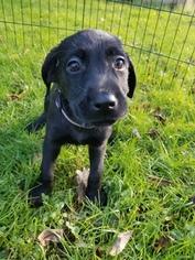 Labrador Retriever Puppy For Sale in WARREN, MA