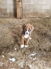 Boxer Puppy For Sale in OAKLAND, MD, USA