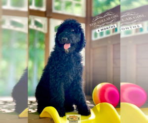 Poodle (Standard) Puppy for sale in PAW PAW, MI, USA