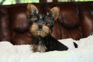 View Ad Yorkshire Terrier Puppy For Sale New York Staten Island Usa