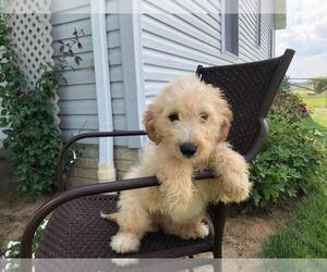 Goldendoodle-Unknown Mix Puppy for sale in HUDSON, MI, USA