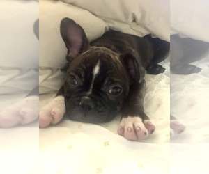 Faux Frenchbo Bulldog Puppy for sale in SAN MATEO, CA, USA