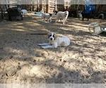Small #7 Anatolian Shepherd-Maremma Sheepdog Mix