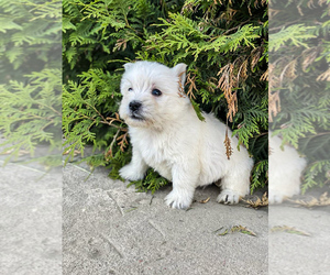 West Highland White Terrier Puppy for sale in WOOD DALE, IL, USA