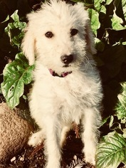 Labradoodle Puppy For Sale in DURHAM, CA, USA