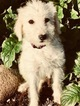 Labradoodle Puppy For Sale in DURHAM, California,