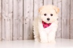 Poochon Puppy For Sale in MOUNT VERNON, OH