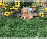 Small #12 Goldendoodle-Poodle (Miniature) Mix