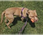 Small #218 American Pit Bull Terrier Mix