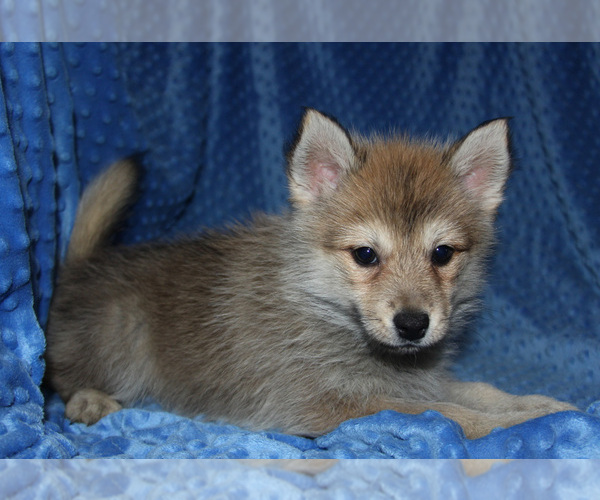 Medium Photo #9 Pomsky Puppy For Sale in DENTON, TX, USA