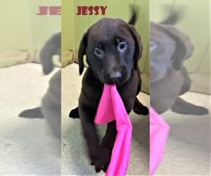 Labrador Retriever Puppy for sale in PATERSON, NJ, USA