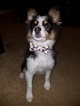 Australian Shepherd Puppy For Sale in LITTLETON, CO, USA