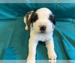Puppy 2 Saint Bernard