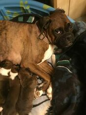 Mother of the Boxer puppies born on 01/13/2019