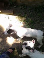 American Pit Bull Terrier Dogs for adoption in HERMITAGE, TN, USA