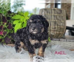 Goldendoodle-Poodle (Toy) Mix Puppy for Sale in MILLERSBURG, Ohio USA