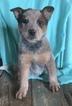 Australian Cattle Dog Puppy For Sale in MC LEAN, IL, USA