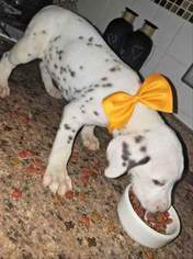 Dalmatian Puppy For Sale in BEECH GROVE, IN