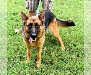 Mother of the German Shepherd Dog puppies born on 12/13/2020