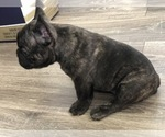 Small Photo #2 French Bulldog Puppy For Sale in HOLTSVILLE, NY, USA