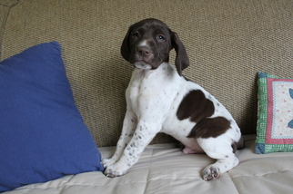 German Shorthaired Pointer Puppy For Sale in BLAINSPORT, PA, USA