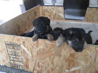 German Shepherd Dog Puppy for sale in ASHLAND, OR, USA